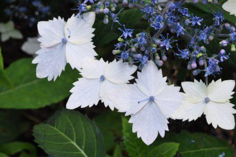 Hydrangea macrophylla ssp stylosa