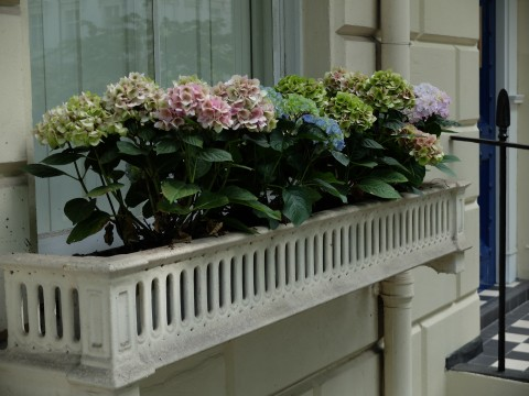 Hydrangeas are a bold and effective choice for a window box particularly if combined with fine architectural ironwork as shown here,