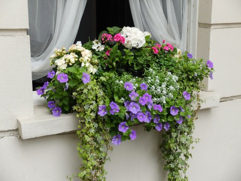 What is striking about this window box is the voluptuousness of the dangling plants.