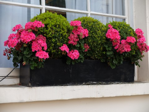Topiary is an obvious choice for window boxes, not only is it simple to take care off, but the sharply clipped forms suit a urban environment.  Here the judicious use of geraniums combined with box balls is an attractive combination.