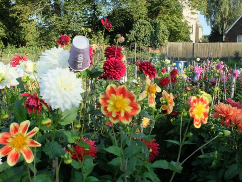 A heavenly display of dahlias in an allotment garden in Leeds, Kent that stopped me in my tracks as I was driving past the other day.