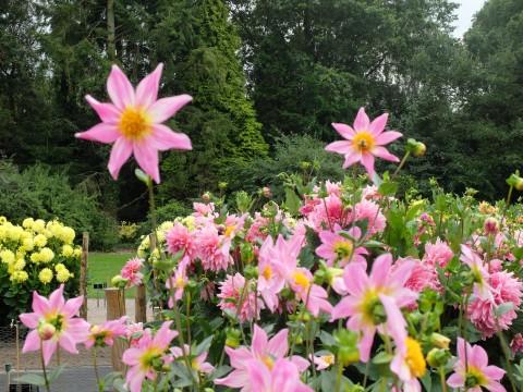 I love the 'Honka' dahlias - here is 'Honka Rose'.