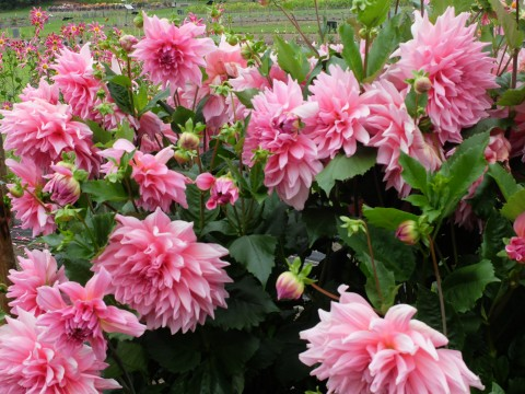 This is a very special dahlia for me as I have a dear Godson called 'Otto'.  A splendid name which works both ways.