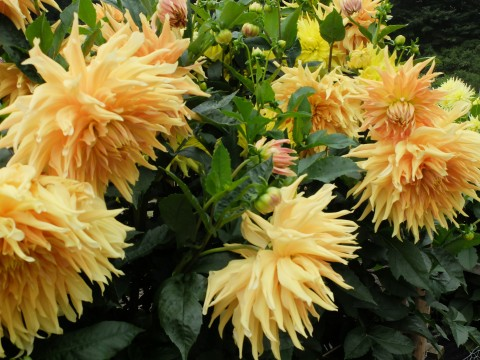 'Sunburst' is exactly what this glorious dahlia is. rightly called.