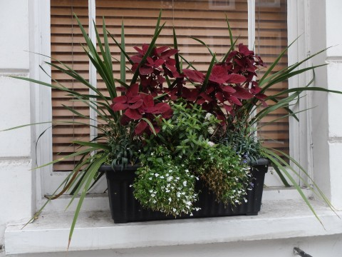 This display follows the above strictures encompassing 'thrillers' coleus, 'fillers' hebes, and 'spillers' lobelia.