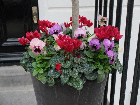Although this isn't a window box, this lovely combination of pansies and cyclamen would look very good in a window box.