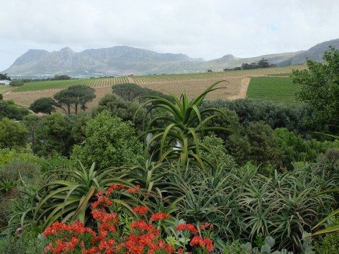 Looking out to Table Mountain across Indigenous flora.
