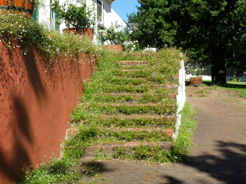 Steps carpeted in a profusion of Erigeron alpinus at the wonderful Rustenberg wine estate.