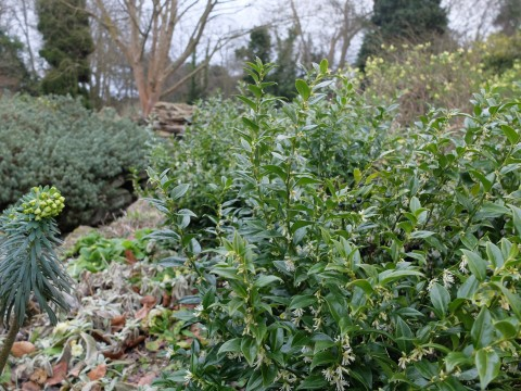 Sarcococca otherwise known as 'Christmas Box' or 'Sweet Box' in the Rock Garden.