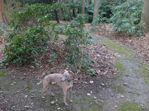 'Biscoe' the family whippet standing by our daphne.  He is named after a ancestor George Biscoe Oldfield, known as Biscoe, he was a Cannon of Salisbury Cathedral.