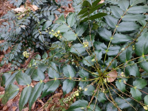 Mahonia flowers are borne from autumn to spring in clustered or spreading terminal panicles.