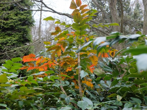 Thrilling autumn colour (still here in February) on a mahonia in our woodland garden.