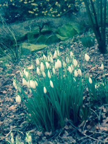 Snowdrops at Goodnestone Park, Kent