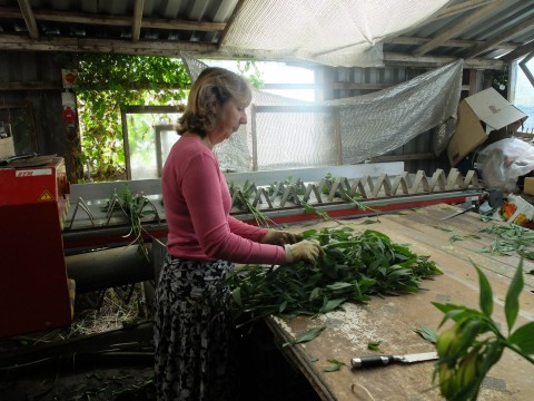 It's a family business.  Ben's mother, Mandy Cross, expertly strips the leaves off the long stems before they are wrapped up for distribution.
