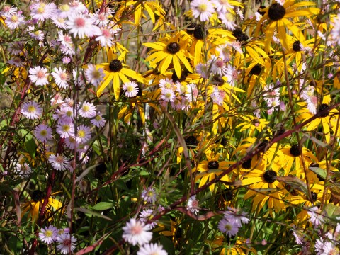 Aster 'Coombe Fishacre', Sanguisorba 'Blackthorn' and Aconitum 'Spatlese'