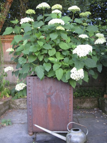 A handsome planter brimming with hydrangea 'Annabelle'which is eminently durable.  'It will last for well over a 100 years' says Rob Longley.