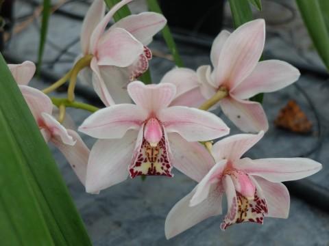 DSCF2648 Pale pink pretty orchid