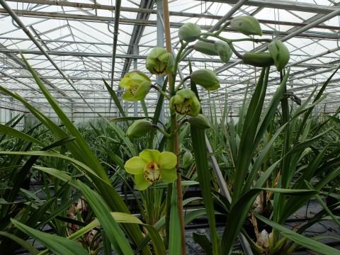DSCF2649 Orchids grown in Sussex