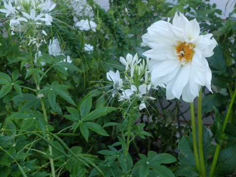 A stunning combination of white cleomes and white dahlias which would look just as good in England.