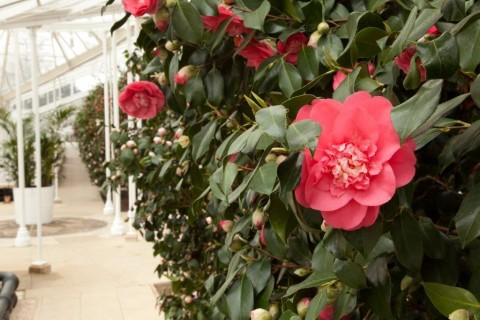 Camellia japonica 'Elegans' probably planted in the conservatory in the early 1830s.