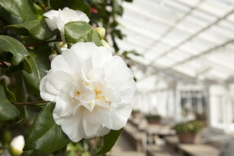 Camellia japonica 'Welbankiana