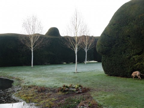 Silver birch 'Grayswood Ghost' beautifully offset by the clipped yew hedges.