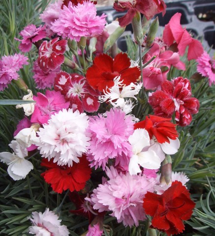 """The Alpine Collection ideal for borders, edging, rockeries or containers. All have a flowering height of between 2-8"""" and will produce masses of clove scented flowers throughout the summer."""