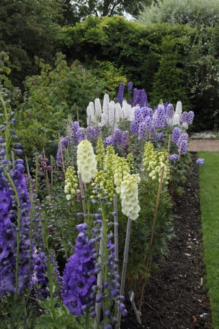 'Delphiniums are deserving of, and suitable for, cultivation in every garden, large and small, from the cottagers to the peer's' wrote David Thomson in 'The Handy Book of The Flower-Garden' published in 18887.
