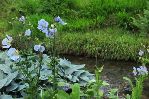 Blue meconopsis