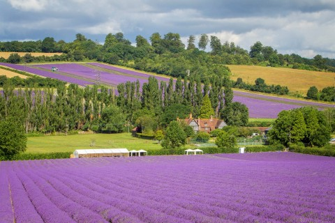 Acre upon acre of English lavender in Kent.