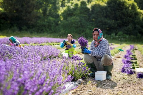 Lavender being harvested by Indian women from Chatham, Kent.
