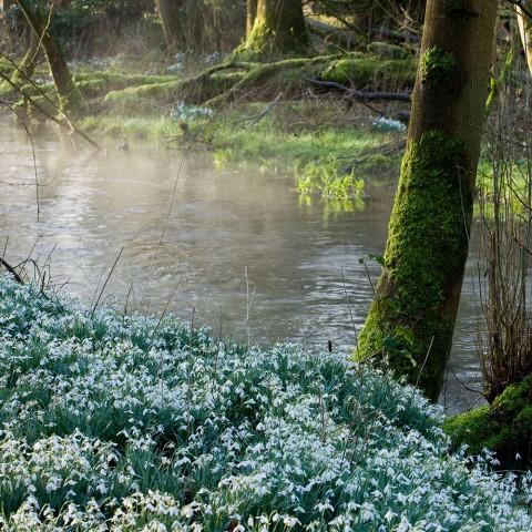 Snowdrops along the River Lambourn at Welford Park, Berkshire