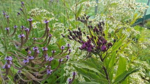 Verbena ma 'Lavender Spires'