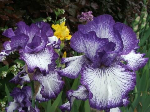 iris of sissinghurst