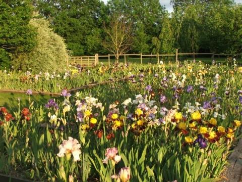 Bearded iris beds at Iris of Sissinghurst