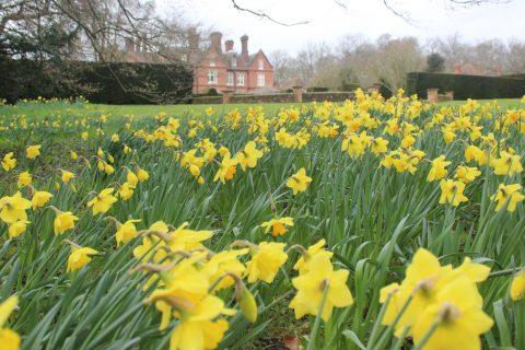 daffodils at Doddington Place Gardens
