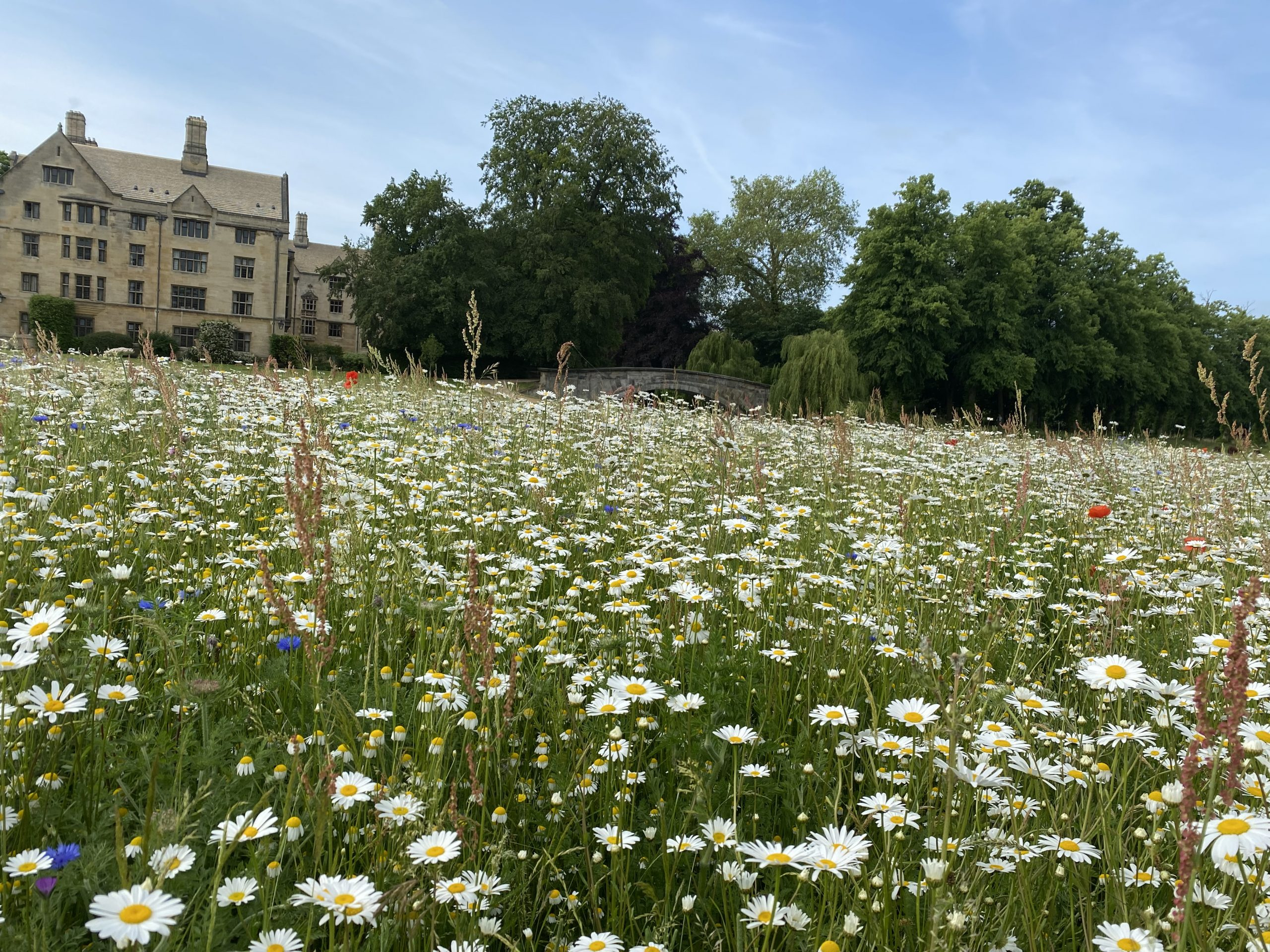 The wildflower meadow at King's College, Cambridge